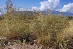 Suaeda fruticosa Shrubby Seablite PFAF Plant Database
