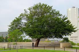 The_Survivor_Tree_at_the_Oklahoma_City_National_Memorial.jpg