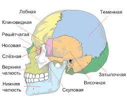 <b>Череп</b> человека — Википедия