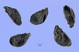 Plants Profile for Allium vineale (wild garlic)