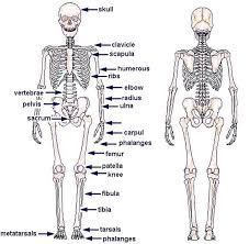 human skeleton  skeletons and charts on pinterestfree diagrams human body   human skeleton chart diagram picture   human skeleton chart diagram