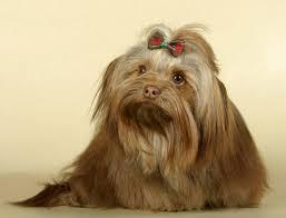 Русская цветная <b>болонка</b>: фото собаки, цена, описание породы ...