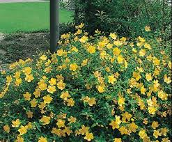 Image result for st johns wort