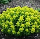 Buy spurge Euphorbia palustris: £6.99 Delivery by Crocus