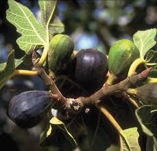 Image result for Jesus kills fig tree