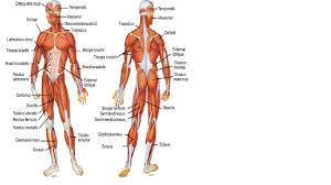 diagram muscles   aof comgallery of diagram muscles
