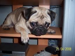 thepughistory - pugsdogs
