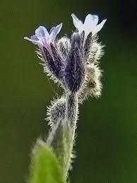Strict Forget-me-not, Myosotis stricta - Flowers - NatureGate