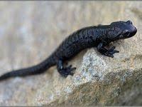 Саламандра: лучшие изображения (100) в 2020 г. | Животные ...