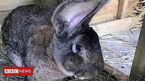 Reward doubled to find 'world's longest <b>rabbit</b>' stolen from garden ...