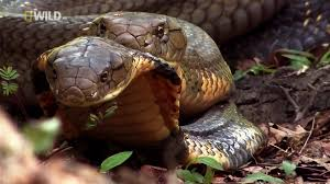 Картинки по запросу фото кобра