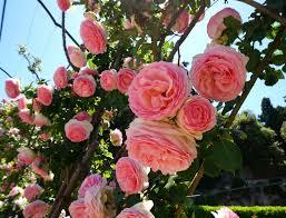 Картинки по запросу долина роз в с.Кирово