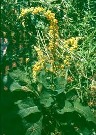 Verbascum nigrum - Online Virtual Flora of Wisconsin