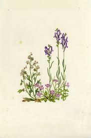 Linaria pelisseriana (L.) Mill. | Flora of Israel Online