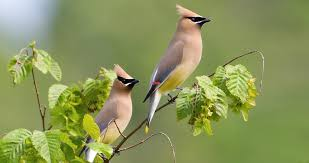 Cedar Waxwing Identification, All About Birds, Cornell Lab of ...