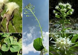 Petasites albus (L.) Gaertn. - Sistema informativo sulla flora delle ...