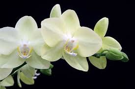 <b>Phalaenopsis</b> (moth orchid) / RHS Gardening