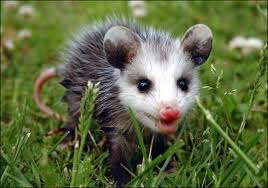 Image result for opossum baby