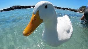 Surfing <b>duck</b>: Pet becomes local celebrity at Australian beach - BBC ...