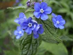 Pentaglottis sempervirens Evergreen bugloss PFAF Plant Database