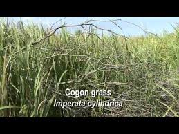 Imperata cylindrica – UF/IFAS Center for Aquatic and Invasive Plants