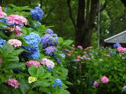 「紫陽花の写真 無料」の画像検索結果