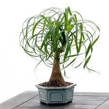 1000 images about bonsai on pinterest bonsai trees wisteria bonsai and chinese elm bonsai bonsai tree for office