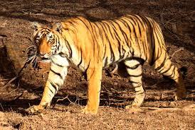 Mainland Asian tiger