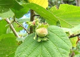 CORYLACEAE Carpinus (Carpino bianco), Ostrya