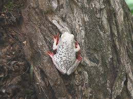 Common reed frog