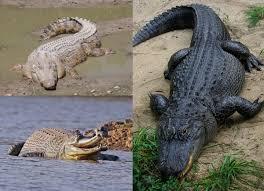 Crocodilia - Wikipedia