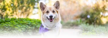 Pembroke Welsh <b>Corgi Dog</b> Breed - Facts and Traits | Hill's Pet