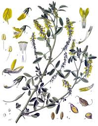 Melilotus officinalis - Wikipedia