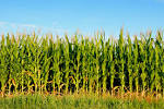 Images & Illustrations of cornfield