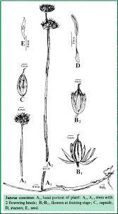 Juncaceae in Flora of Pakistan @ efloras.org
