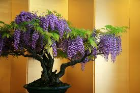 wisteria bonsai trees bought bonsai tree
