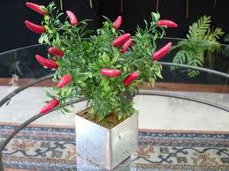 Resultado de imagen para plantas de aji