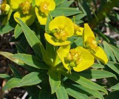 Euphorbia dendroides (Tree Spurge) : MaltaWildPlants.com - the ...