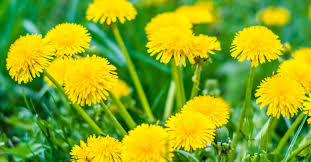 <b>Dandelion</b>: Health benefits, research, and side effects