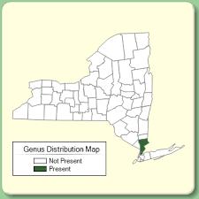 Herniaria - Genus Page - NYFA: New York Flora Atlas - NYFA: New ...