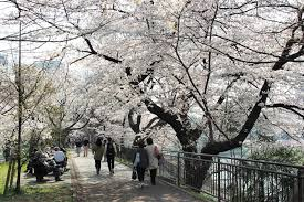 「東京都外濠公園桜並木」の画像検索結果