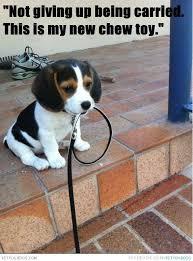 Beagle | Dog Pictures & Videos - Funny, Cute, Wacky or training ... via Relatably.com