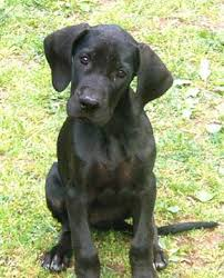 Image result for great dane black