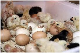 Купить инкубатор для яиц Украина