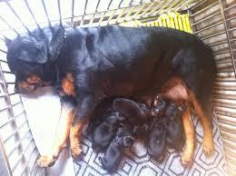 Kết quả hình ảnh cho Chó Rottweiler con