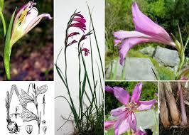 Gladiolus illyricus W.D.J.Koch - FVG