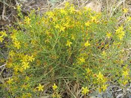 Hypericum triquetrifolium - Wikipedia