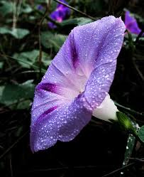 Ipomoea purpurea - Wikipedia