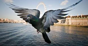 21 Incredible Things You Never Knew About <b>Pigeons</b> - The Dodo