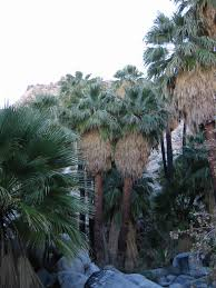 Washingtonia filifera - Wikipedia